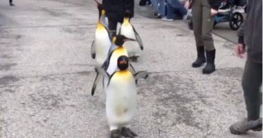 حديقة أمريكية تسمح لزوارها بالتنزه مع البطاريق 3 أيام فى الأسبوع.. فيديو