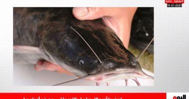 تغطية خاصة لتليفزيون اليوم السابع حول الأسماك السامة