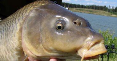 """الرى تستعين بسمكة """"المبروكة"""" للتخلص من حشائش الترع.. اعرف التفاصيل"""