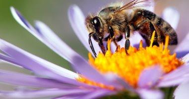 روسيا اليوم: هولندا تدرب النحل على الكشف عن فيروس كورونا