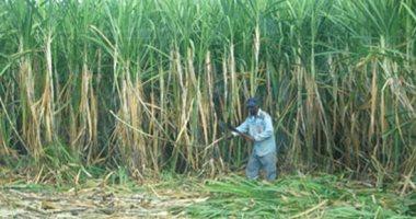 9 توصيات لمزارعى قصب السكر يجب مراعاتها خلال شهر ابريل.. تعرف عليها