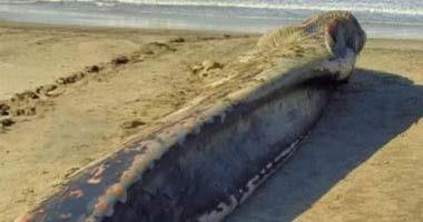 العثور على أنثى الحوت الأحدب نافقة على شواطئ البرلس بكفر الشيخ.. صور