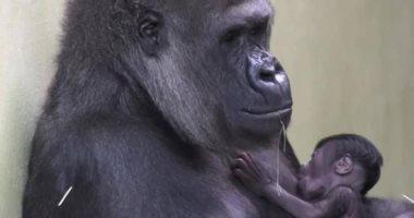 American zoo: 12 gorillas undergoing treatment after contracting the Corona virus
