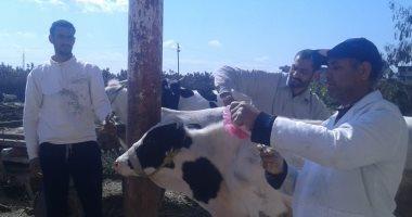 تحصين 83 ألف رأس ماشية ضد الحمى القلاعية والوادى المتصدع بالأسكندرية