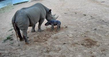 حديقة حيوان أسترالية تشهد ولادة وحيد القرن الأسود..الفصيلة مهددة بالإنقراض..صور وفيديو