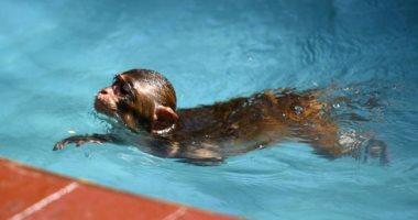 من حق القرود تتدلع.. الصين تمنح فصيلة المكاك الاستمتاع بالسباحة فى المياه الدافئة