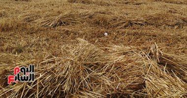"""""""التموين"""" تستأنف اليوم استلام القمح المحلى من المزارعين"""
