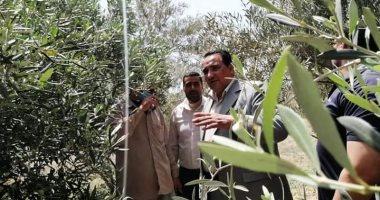 محافظة دمياط تعلن نجاح زراعات الزيتون عن طريق الرى بالتنقيط.. صور