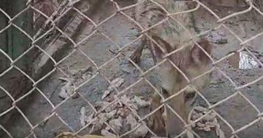 شاهد.. الذئب لأول مرة فى حديقة حيوان الزقازيق بالشرقية