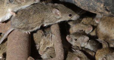 استعمار عمره 250 عاما.. شاهد حكاية جيش من الفئران يحتل أسرتاليا منذ القرن الـ18