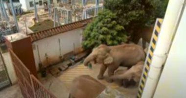 لقطات جديدة لقطيع الأفيال الشارد يتجول في الشوارع بمدينة صينية.. فيديو وصور