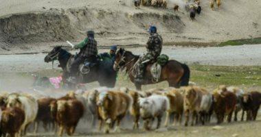 موسم الهجرة.. رحلة ملايين الأغنام والأبقار من الجبال الثلجية لصحراء الصين