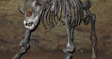 ثقب فى جمجمة دب عمره 3500 سنة..  هل عرف الإنسان صيد الحيوانات مبكرًا؟