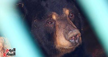 الدب هانى