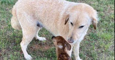 كلب ينقذ غزال من الغرق