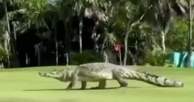 تمساح يقتحم ملعب جولف فى المكسيك.. فيديو