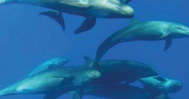 """""""بيت الدلافين"""".. تعرف على 13 نوعًا من دلافين البحر الأحمر وأماكن تواجدها (صور)"""