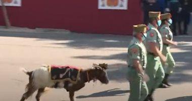ماعز تشارك فى العرض العسكرى أثناء الاحتفال بالعيد الوطنى الإسبانى.. فيديو