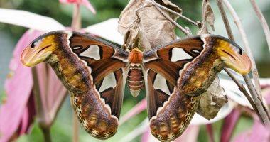 الفراشة الثعبان.. أكبر فراشة فى العالم تتحول إلى كوبرا لتدافع عن نفسها.. فيديو