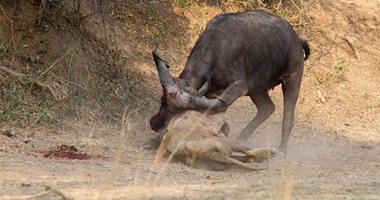 """بالصور.. معركة دموية بين """"ثور"""" و""""أسد"""" فى زامبيا تنتهى بهزيمة ملك الغابة"""