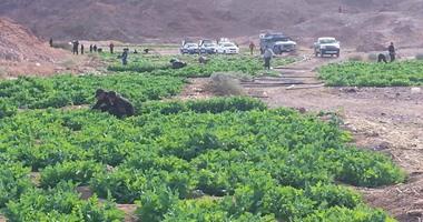 الأمم المتحدة: زراعة الخشخاش فى أفغانستان زادت بنسبة 10%