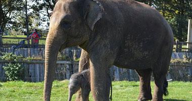 الأفيال تتسبب فى زيادة مخزون الكربون بالغابات نتيجة تدميرها للنباتات