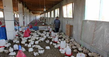 كيف تتجنب مخاطر الإجهاد الحرارى لمزارع الدواجن؟.. اعرف التفاصيل