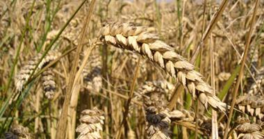النائب محمد عبد الله يطالب برفع أسعار توريد الأرز إلى 6 آلاف جنيه