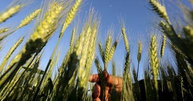 وزير الزراعة: يكلف بالتواجد بالحقول الشتوية و لجان متخصصة لمتابعة القمح