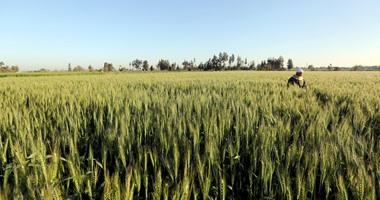 الخدمات الزراعية: لجان متخصصة للمرور على زراعات القمح.. اعرف التفاصيل