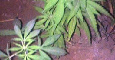 ضبط 3 قراريط مزروعة بـ 465 شجرة لنبات مخدر ملك شقيقين بقنا