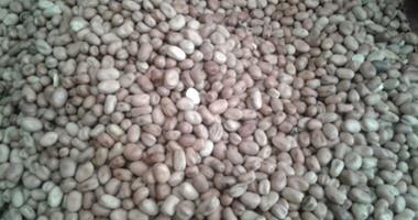 الزراعة: برامج إرشادية بحقول الفول البلدى لزيادة الإنتاج