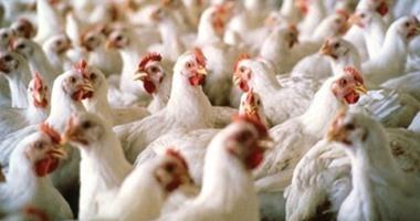 روسيا تورد لمصر حتى نهاية العام 10 آلاف طن دجاج
