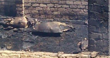 إصابة صاحب حظيرة ونفوق 5 رؤوس ماشية فى حريق بطنطا