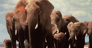 نفوق 6 أفيال برية سقطت فى شلال مياه فى متنزه بتايلاند