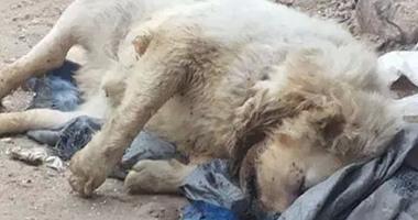بالصور.. العثور على أسد نافق ملقى بالقمامة فى المحلة