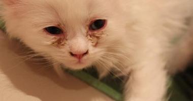 ما هو علاج زكام القطط من الصيدلية البشريه اكتشف بنفسك Whiskers Egypt