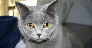 بالصور.. تعرف على أغرب فصائل القطط فى العالم