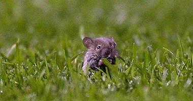 """كيف تخطط الزراعة لمواجهة """"الفئران"""" اعرف التفاصيل × 11 معلومة"""