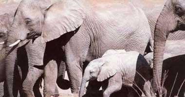 دراستان: انخفاض عدد الأفيال فى أفريقيا بنسبة 30% فى 7 سنوات
