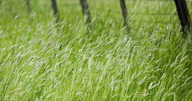 احذرالعلاج بالاعشاب انها سامه Grasses4200810203447.jpg