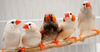 افضل طيور الزينة S122013286835.jpg