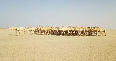 الإفراج عن 3950 رأس من الإبل الواردة من السودان