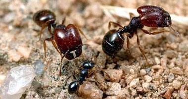 النمل يتفوق على البشر فى القرارات العقلانية