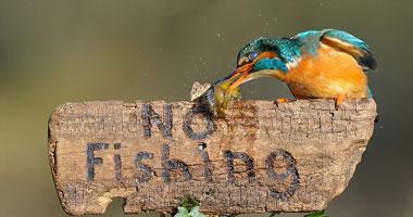 طائر يصطاد سمكة ويقف متحدياً l3201228145611.jpg