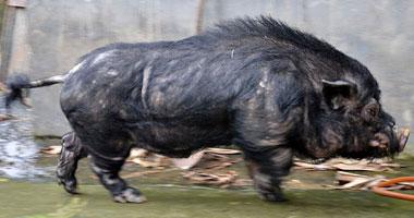 خنزير بري الخنازير ...