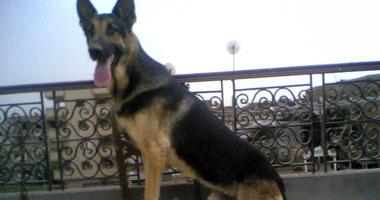 الكلاب الـ13 من النوع البوليسى الشرس