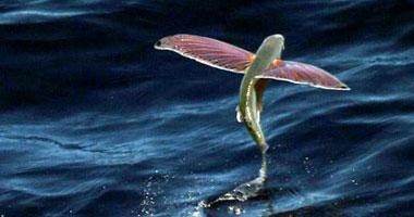 الأسماك الطائرة تحلق مثل العصافير  S1020101132047