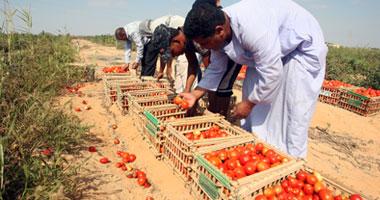 قفص الطماطم يتراوح بين 30 إلى 45 جنيهاً