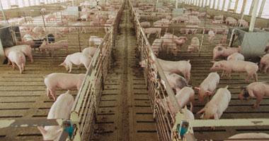 فرض سياج شجرى حول منطقة حظائر الخنازير فى حلوان